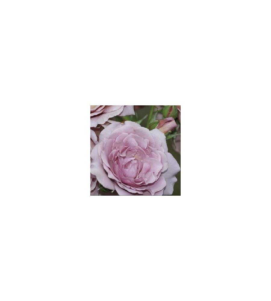 Rose Lavender Pinocchio - Buketrose /
