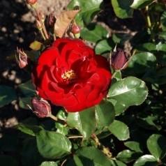 Rose Lilli Marleen - Buketrose / Barrods