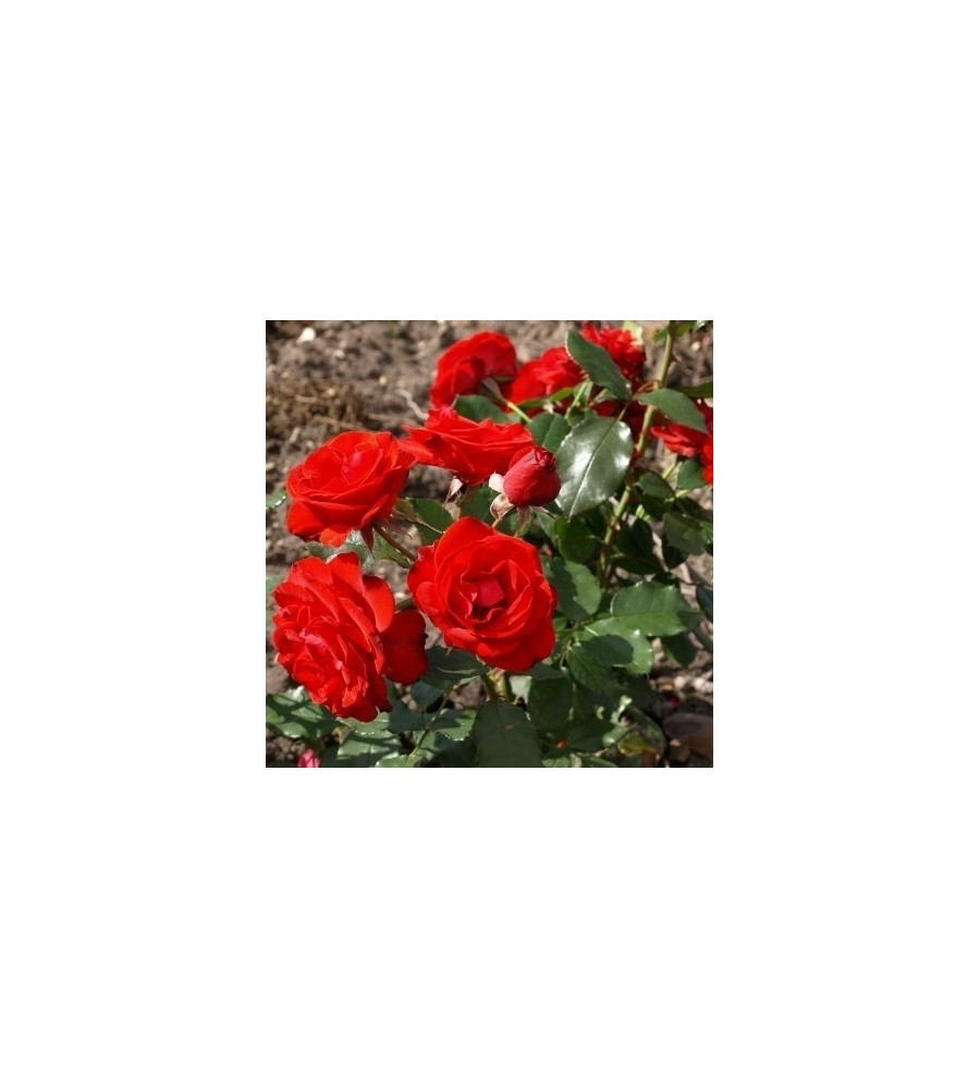 Rose Montana - Buketrose / Barrods