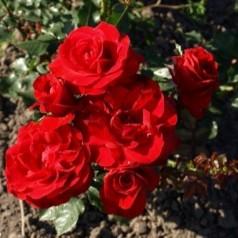 Rose Nina Weibull / Buketrose - Barrods