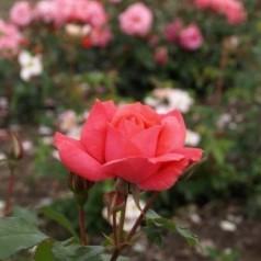 Rose Pernille Poulsen / Buketrose - Barrods