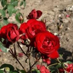 Rose Pussta - Buketrose / Barrods