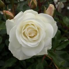 Rose Schneewittchen - Buketrose / Barrods
