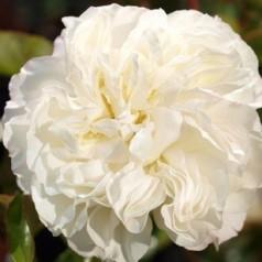 Rose White Meidiland - Buketrose / Barrods