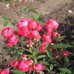 Rose Morsdag / Buketrose - Barrods