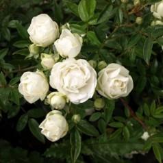 Rose Snövit / Lav Buketrose - Barrods