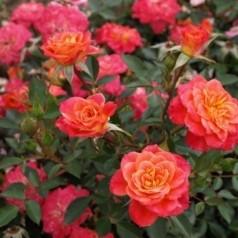 Rose Mandarin - Bunddækkerose / Barrods