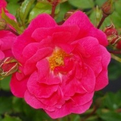 Rose Heidetraum - Bunddækkende rose - Barrods
