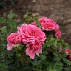 Rose Libelle - Bunddækkerose / Barrods