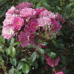 Rose Pink The Fairy / Bunddækkende rose - Barrods