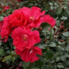 Rose Sommermärchen / Bunddækkende rose - Barrods