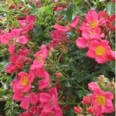 Rose Tommelise - Bunddækkende rose / Barrods