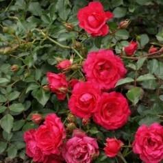 Rose Viking / Bunddækkende rose - Barrods