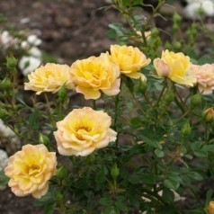 Rose Yellow the Fairy - Bunddække rose / Barrods