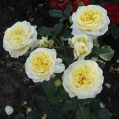 Rose Stockholm / Slotsrose - Barrods