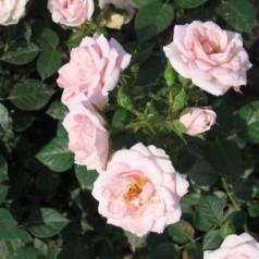 Rose Pink Hit - Buketrose Lav / Barrods