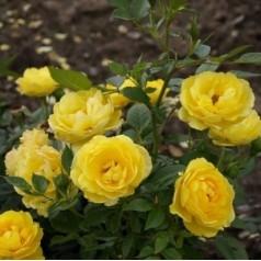 Rose Sun Hit - Buketrose Lav / Barrods