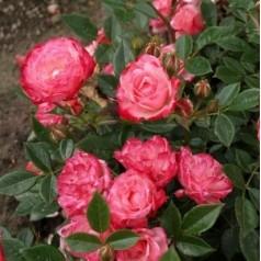 Rose Teeny Weeny - Buketrose Lav / Barrods