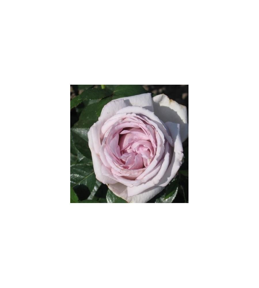 Rose Bering Renaissance - Renaissancerose / Barrods