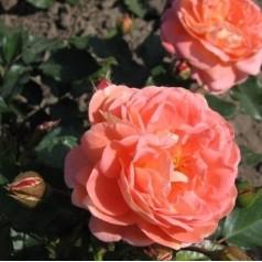 Rose Bonita Reanissance / Reanissancerose - Barrods
