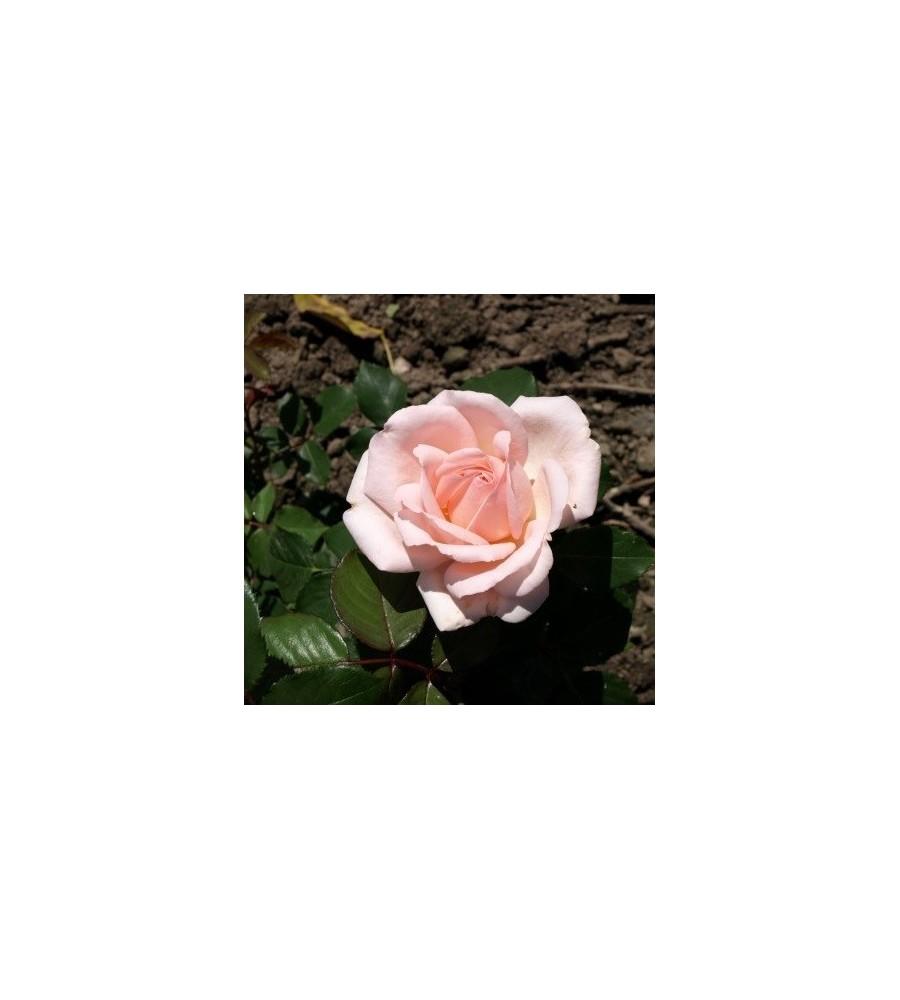Rose Clair Renaissance / Renaissancerose - Barrods