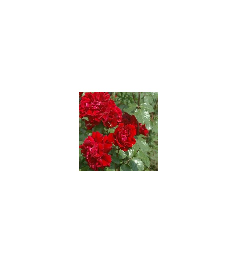 Rose Isabel Renaissance / Renaissancerose - barrods