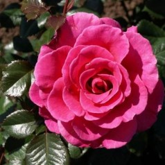 Rose Prinsesse Alexandra Renaissance - Renaissancerose / Barrods