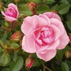 Rose Bournonville - Slyngrose Courtyard Climber / Barrods