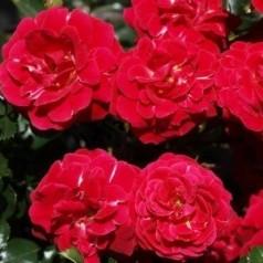 Rose Dacapo - Slyngrose Courtyard Climber / Barrods