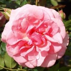 Rose Mamma Mia - Slyngrose Courtyard Rambler / Barrods