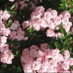 Rose Rosenholm - Slyngrose Courtyard Rambler / Barrods