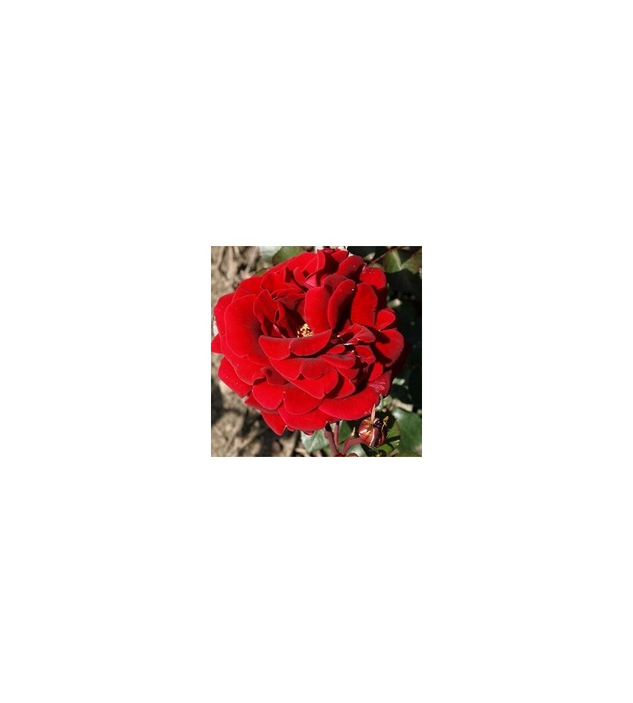 Rose That's Jazz - Slyngrose Courtyard Rambler / Barrods