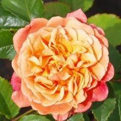 Rose Kordes Rose Aloha - Slyngrose / Barrods