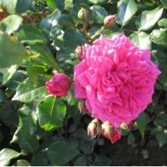 Rose Laguna - Slyngrose / Barrods