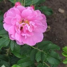 Rose Jens Munk / Busk Rose - Barrods