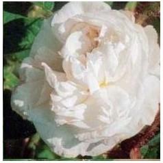 Rose Blanche Moreau / Park Rose - Barrods