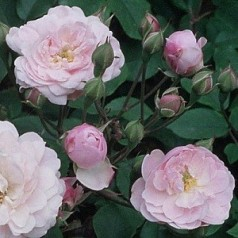 Rose Blush Noisette / Busk rose - Barrods