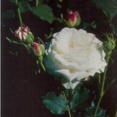 Rose Boule de Neige / Historisk Rose - Barrods