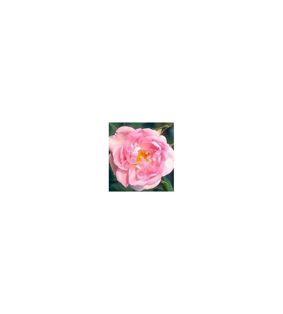 Rose Céléstrial / Historisk Rose - Barrods
