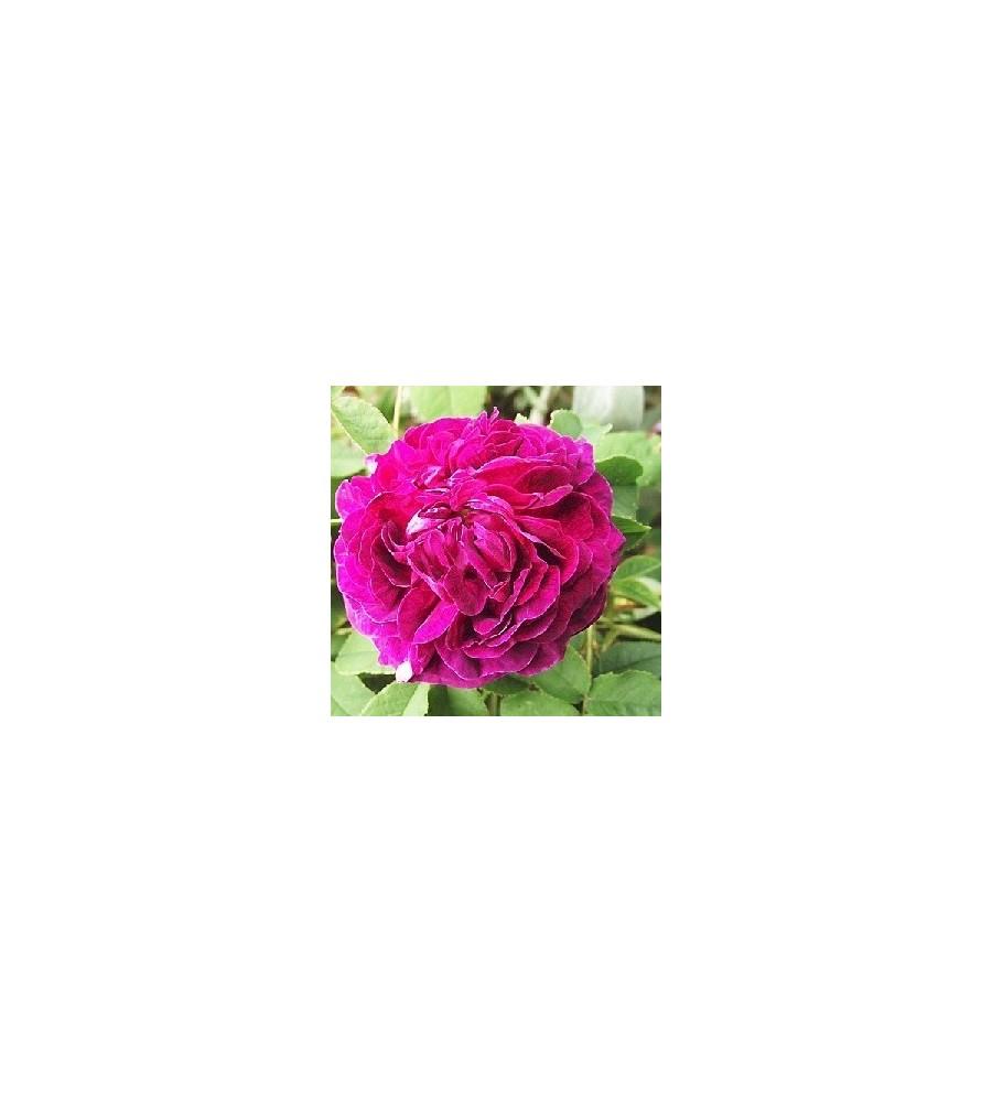 Rose Charles de Mills / Have rose - Barrods