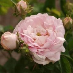Rose Duchesse de Montebello - Historisk rose - Barrods