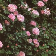 Rose Gerbe Rose / Busk Rose - Barrods