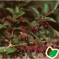 Californisk Gedeblad 50-80 cm. - Bundt med 10 stk. barrodsplanter - Lonicera ledebourii Vian