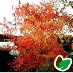 Acer ginnala - Ildløn / Træ 200-250 cm.