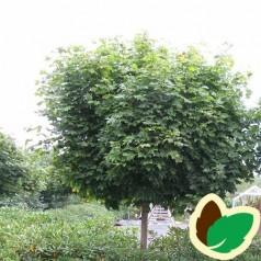 Acer platanoides Globosum - Kugle Ahorn / Træ med 150 cm. stamme.