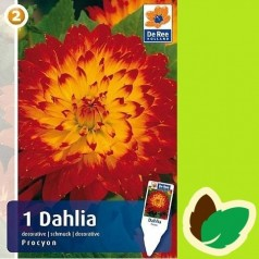 Dahlia Decorative Procyon / Georgin
