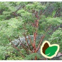 Acer griseum - Papirbarkløn / Træ 100-125 cm.