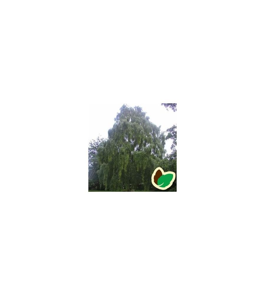 Betula pendula Tristis - Hængebirk / Træ 200-250 cm.