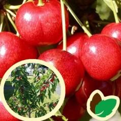 Dværg Kirsebærtræ Sunburst