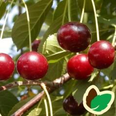 Kirsebærtræ Kirsa